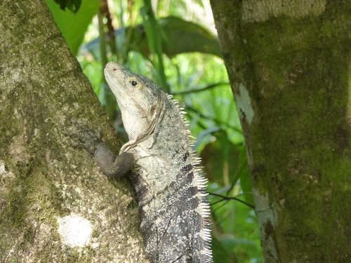 Hacienda Baru National Wildlife Refuge - iguana