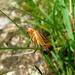 Small photo of Cantharidae. Soldier Beetle