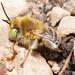 Anthophora (Heliophila) sp. m by terraincognita96