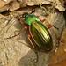 Golden Ground Beetle Tachypus auratus pseudolotharingus ©berniedup