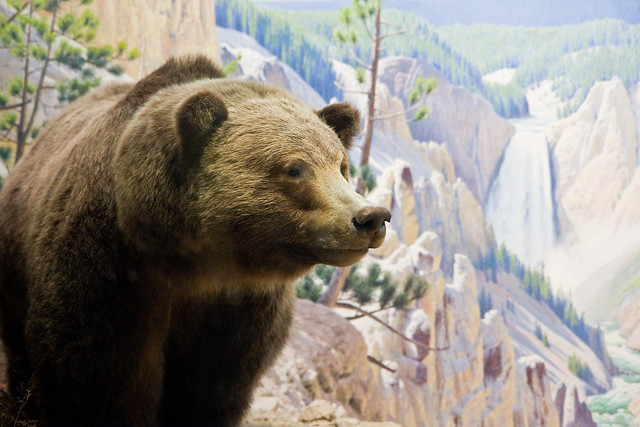 Hall of North American Mammals, AMNH