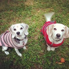 puppy love(0.0), dog breed(1.0), labrador retriever(1.0), animal(1.0), puppy(1.0), dog(1.0), pet(1.0), mammal(1.0), beagle(1.0),