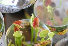 Venus Flytrap zoo 9-22-12