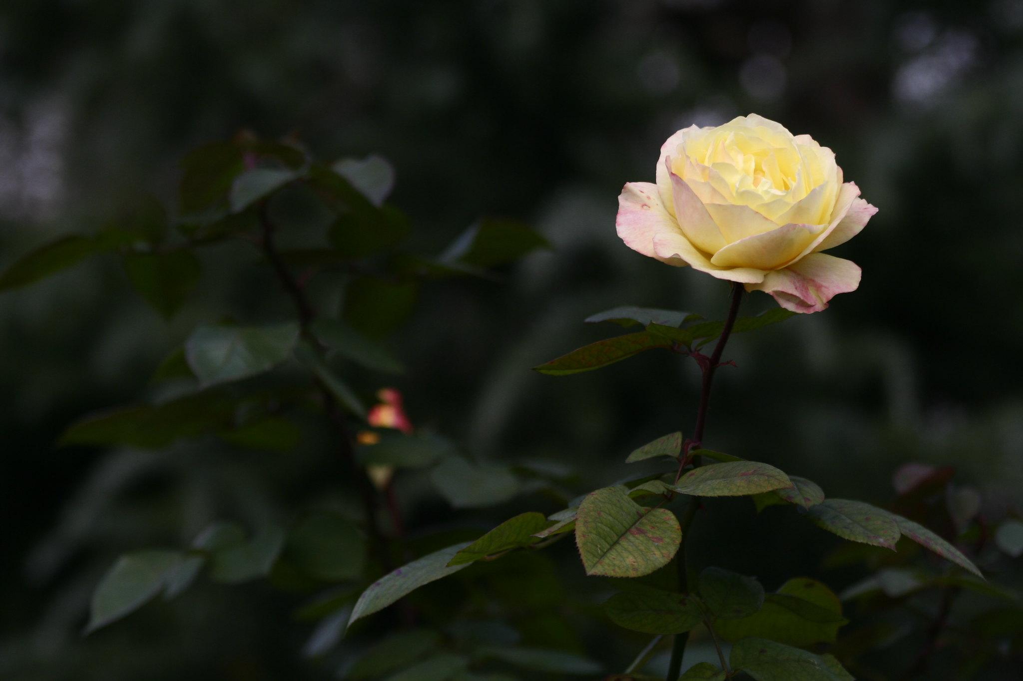 Rose in Ihlamur Kasrı, Istanbul