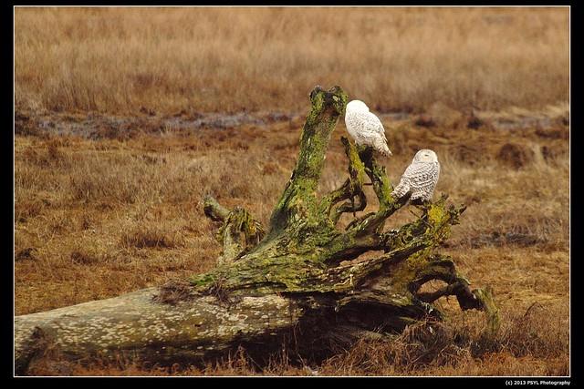 Snowy Owls (Bubo scandiacus)