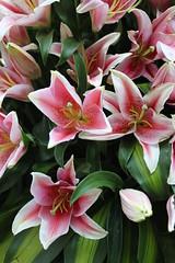 lily, flower, flora, floristry, petal,