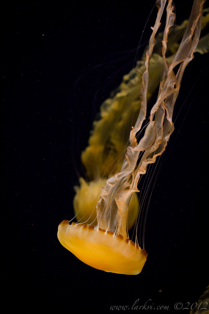 Jellyfish #2, Monterey Bay Aquarium, 2013