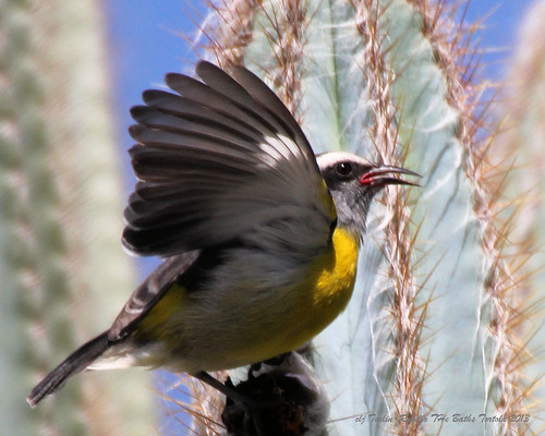 Yellow Bird on Cactus by Cheryl Turlin