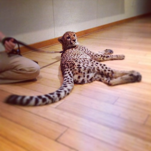 Meet Savanna, the 6.5 month old, 38 pound cheetah that I hung out with tonight. (Took everything in me not to snuggle and/or steal her.)