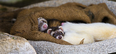 Cute sleeping ferret babies