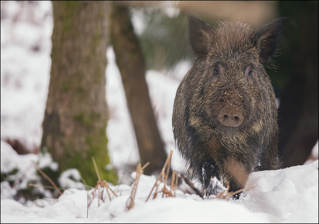 Wild Boar In Snow