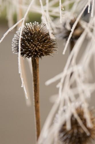 echinacea panicum  3193