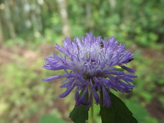 annual plant, jasione montana, flower, plant, bee balm, herb, wildflower, flora, produce, meadow,
