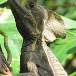 Basilisk Lizard (Basiliscus basiliscus)