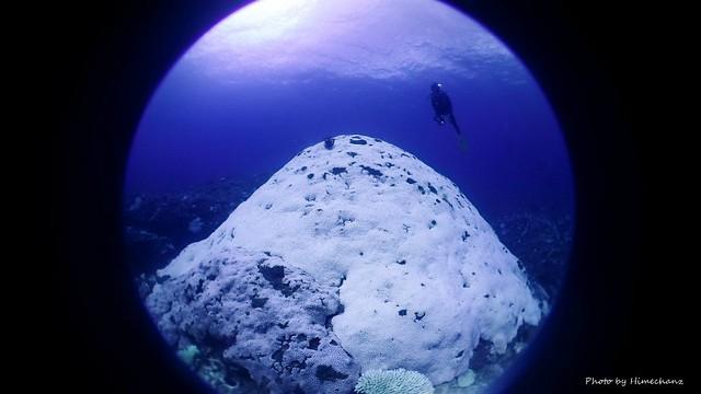 世界2位の大きさを誇るアザミサンゴ