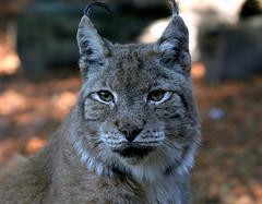 Lynx Minx
