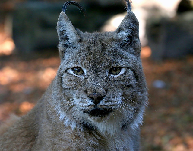 Lynx Minx [eXPLoReD]