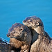 Breeding River Otters, Trout Lake