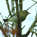 Red-eyed Vireo_438 (Corvo, Azores, 11 Oct 2008) © Dominic Mitchell