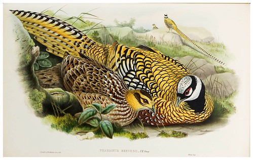 015-Reeve's Pheasant-The birds of Asia vol. VII-Gould, J.-Science .Naturalis