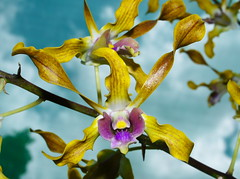 Orchid Society of Papua New Guinea