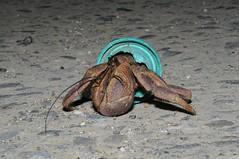 無法完全保護寄居蟹,但總比無殼好一點。(攝影:呂縉宇)