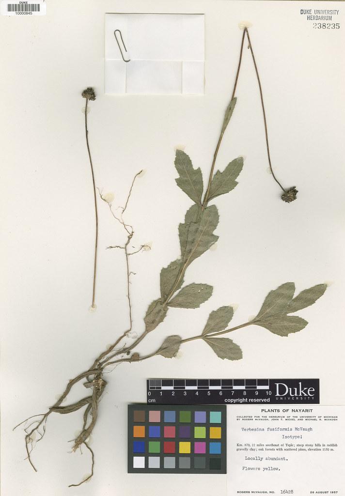Asteraceae_Verbesina fusiformis