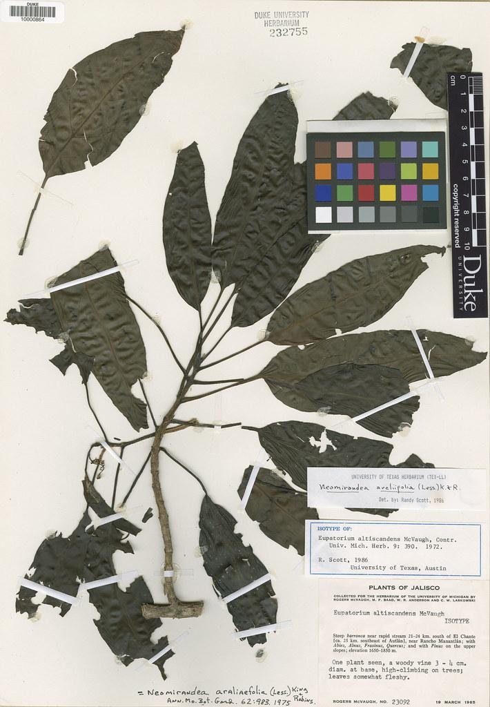 Asteraceae_Eupatorium altiscandens