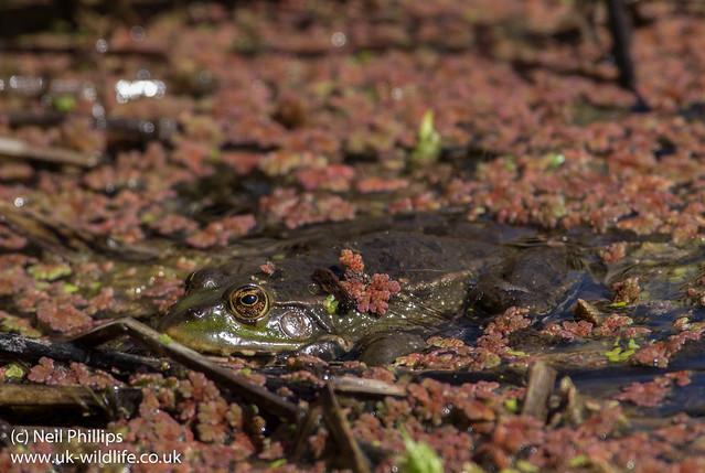 Marsh frog Pelophylax ribunda