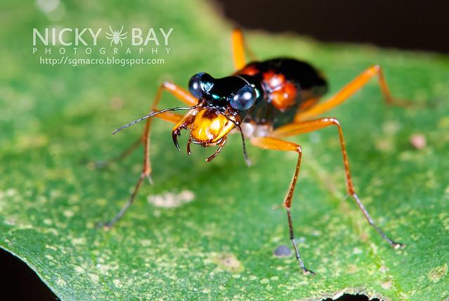 Tiger Beetle (Cicindelinae) - DSC_0631