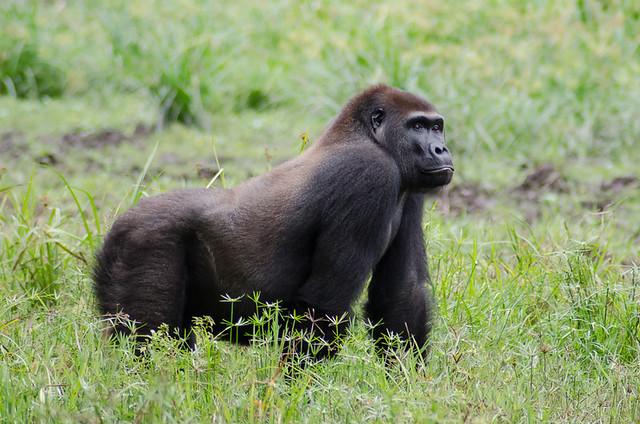 Western Lowland Gorilla Central African Republic Flickr