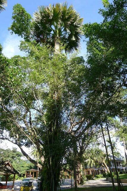 棕榈和榕树