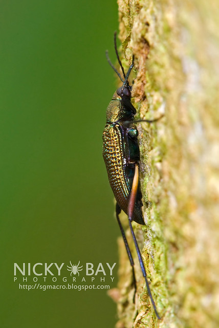 Darkling Beetle (Tenebrionidae) - DSC_7319