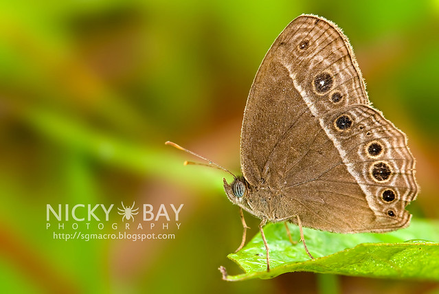 Long Brand Bush Brown (Mycalesis visala phamis) - DSC_5160