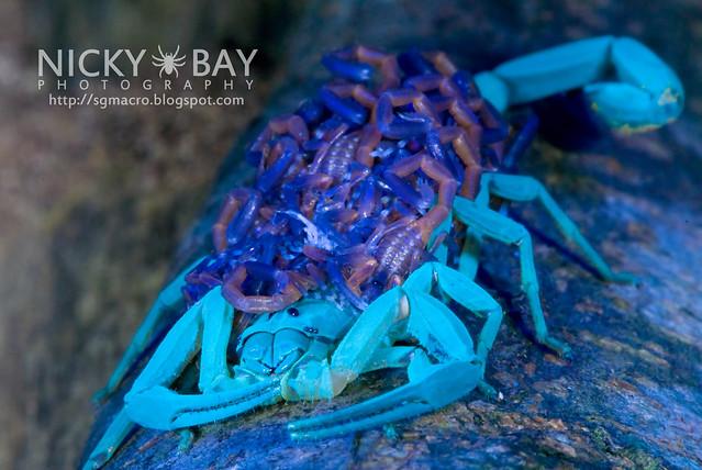 Scorpion (Lychas scutilus) - DSC_8993
