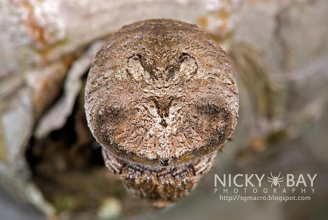 Tree Stump Orb Weaver Spider (Poltys sp.) - DSC_0322