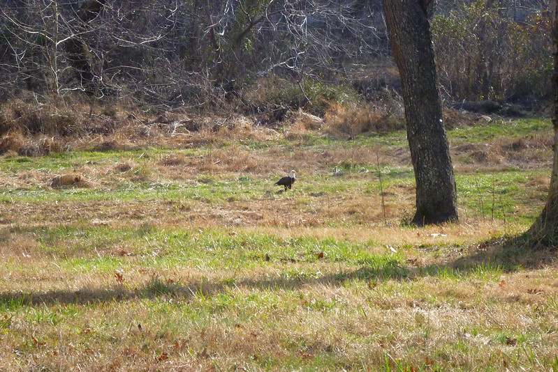 12/28/12 Bald Eagle in Clifton Flood Plain