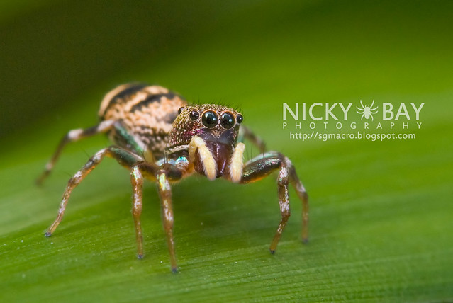 Jumping Spider (Salticidae) - DSC_8099