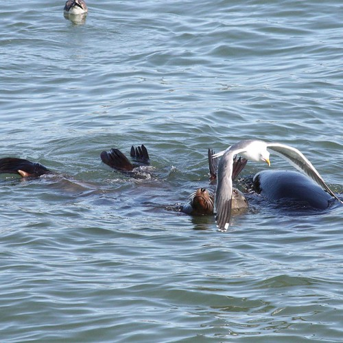 Raft of Sea Lions - photobombed by Western Gull