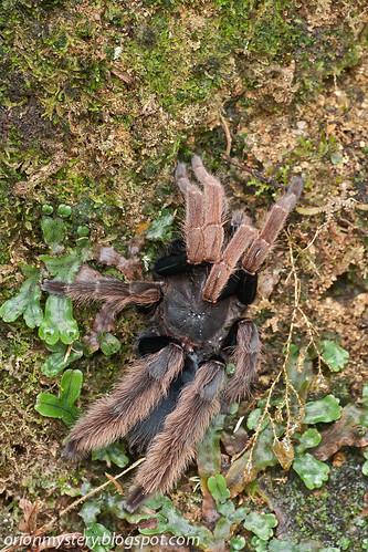 tarantula Coremiocnemis hoggi IMG_5831 copy