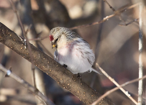 First bird photo of the year: Hoary Redpoll!