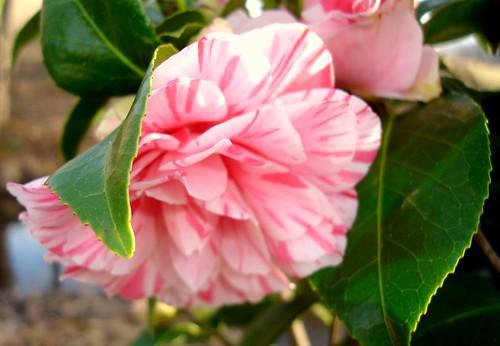 Les Marbury Camellia Blossom