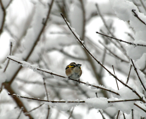 Goldfinch, honest...