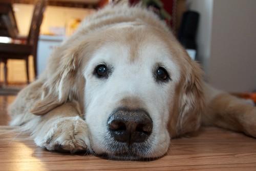 [フリー画像素材] 動物 (哺乳類), 犬・イヌ, ゴールデン・レトリバー ID:201301300400