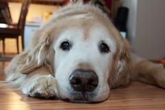 [Free Images] Animals (Mammals), Dogs, Golden Retriever ID:201301300400