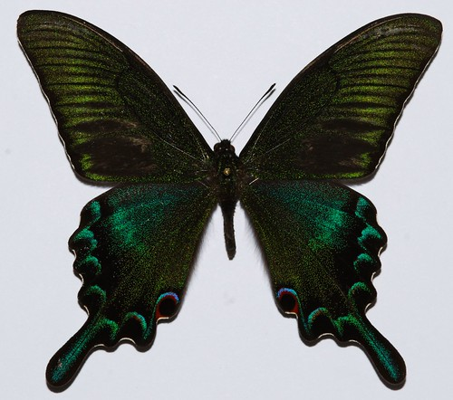 Panoramio - Photo of Papilio maackii @ Fukushima Japan