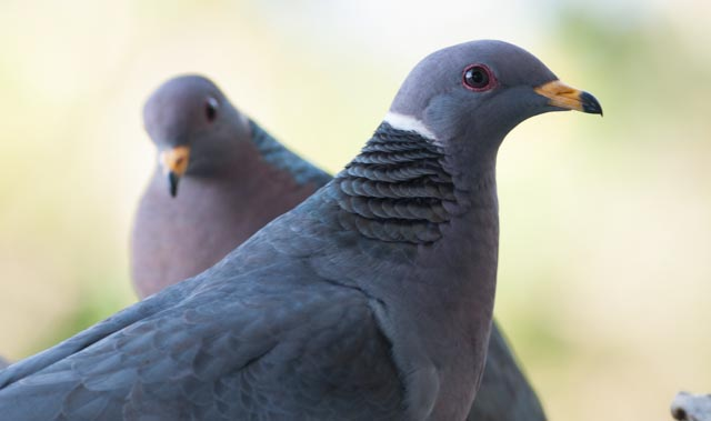 Pacific Band tailed pigeon (Patagioenas fasciata))