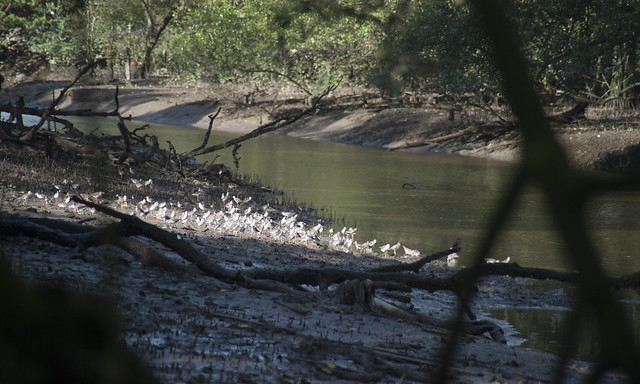 Shorebirds at Mandai mangroves