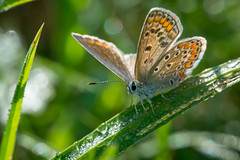 Common blue in the morning dew