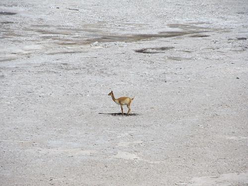 Le Sud Lipez: la Laguna Verde et ses vigognes